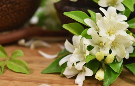 מחקרים מראים כי צמח יסמין בתוך החדר שלכם מפחית מתח, התקפי חרדה ודיכאון