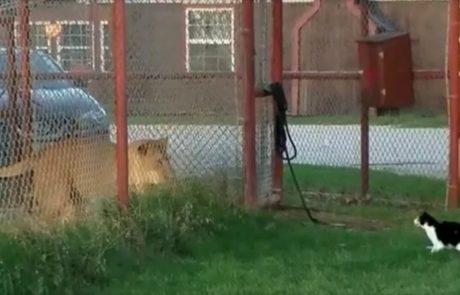צפו בחתלתולה הקטנטנה נלחמת באריה ענק!