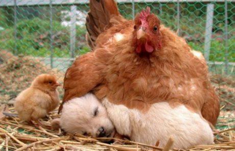 10 תמונות שמוכיחות שהתרנגולות הן האמהות הטובות ביותר שיש