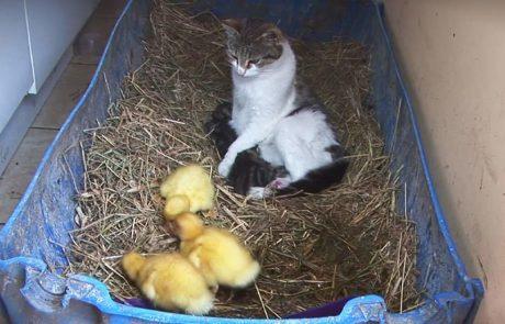 הברווזונים ננטשו על ידי אמם והחתולה בחרה לעשות עבורם את הלא יאמן!